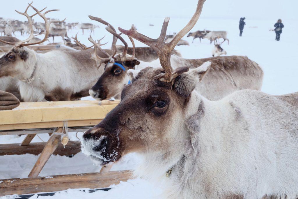 festival renne nenets russia